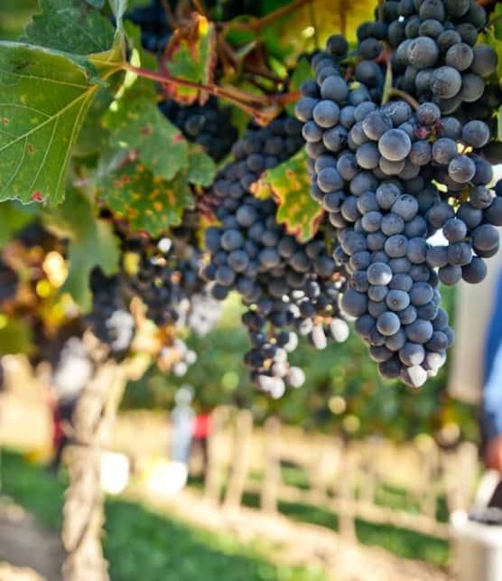 Les vignobles des Cantons-de-l'Est à visiter!