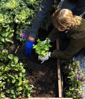 Potager maison : la mise en terre de vos plants