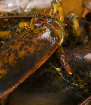Comment différencier un homard mâle d'une femelle