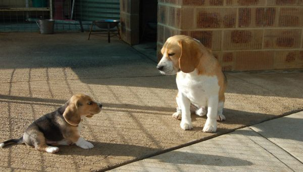 Chiots Beagle disponible