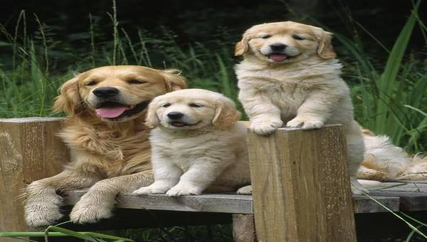 Chiots Golden Retriever pour adoption