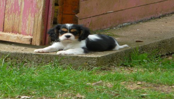 Chiot Cavalier King Charles