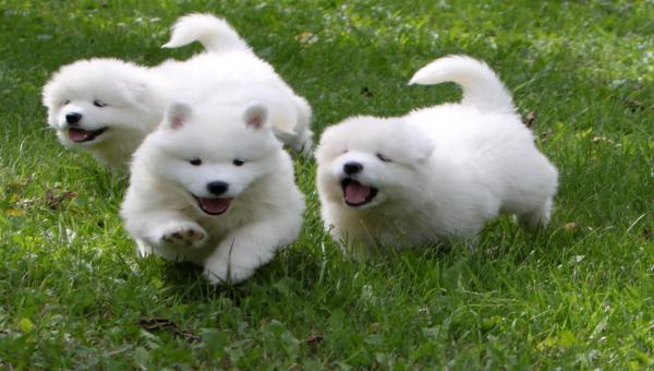 Chiots Samoyed Disponible pour adoption