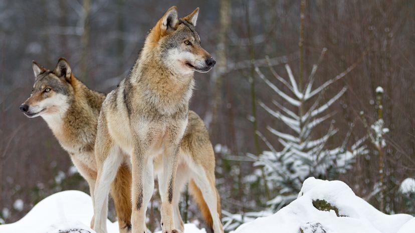 Actualit s micka l brangeon un geek au milieu des loups espaces - Dormir au milieu des loups ...