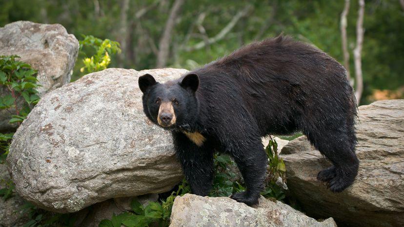 Deux joggeurs rencontrent un ours noir