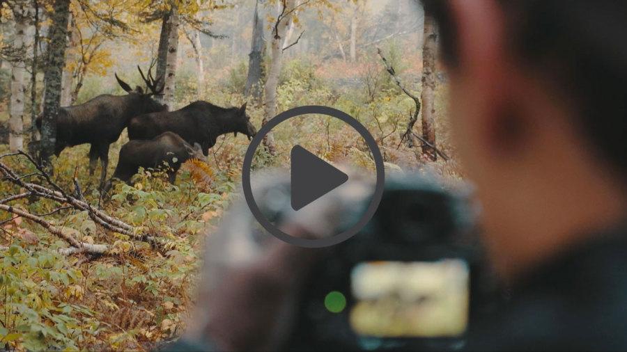 Vidéo : Le photographe qui murmurait à l'oreille des orignaux