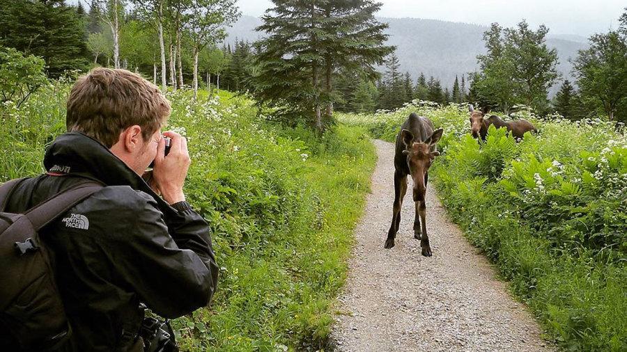 Où observer les orignaux en randonnée au Québec ?
