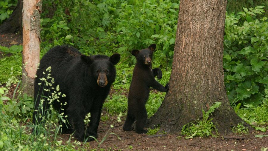 Que faire face à un ours noir ?
