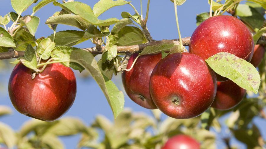 Croquer les pommes du demi-marathon des Vergers Rougemont