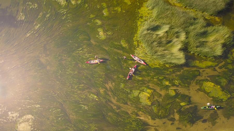 Quand une plante zombie envahit les lacs du Québec