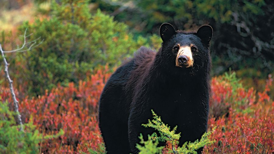 Attaqué par un ours noir : survie 101
