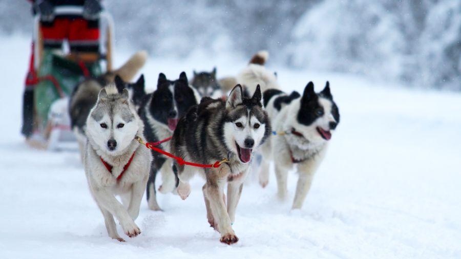 Traîneaux à chien : Rivière Ashuapmushan au Lac Saint-Jean