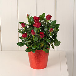 Red Potted Rose