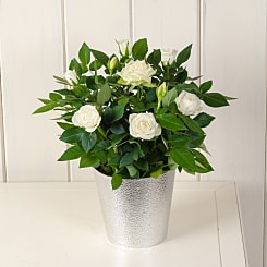 White Potted Rose