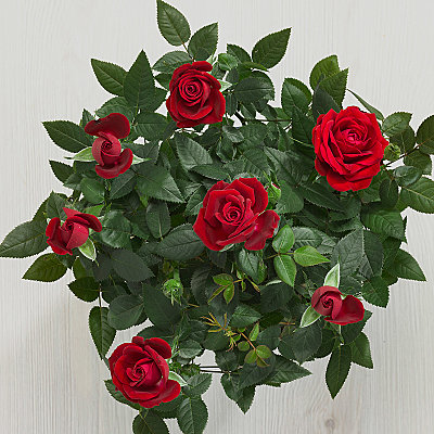 Red Potted Rose - Plants