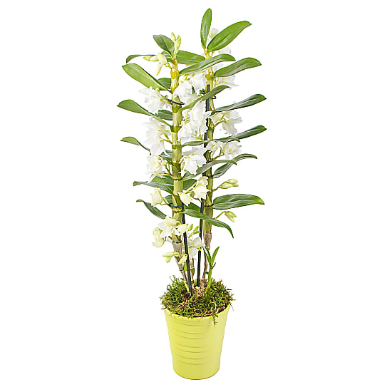 Dendrobium Orchid in Lime Pot