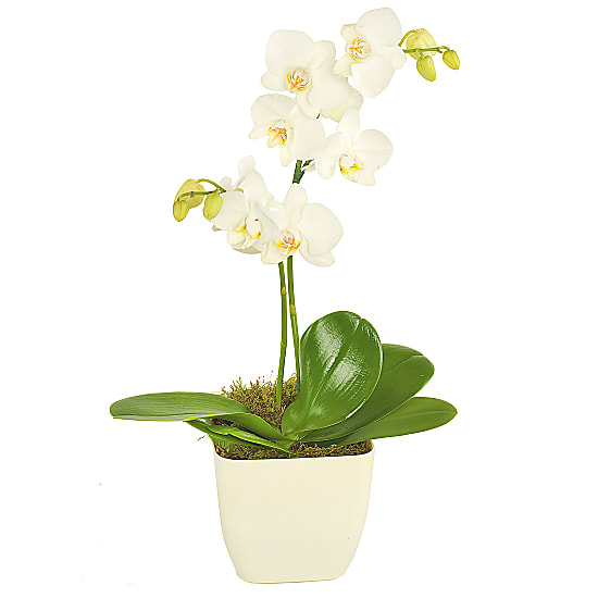 White Potted Orchid