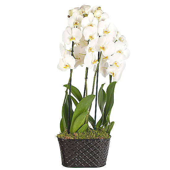 White Phalaenopsis Orchid Planter