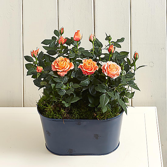 Orange Rose Planter