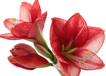 Blooming Red Amaryllis Plant