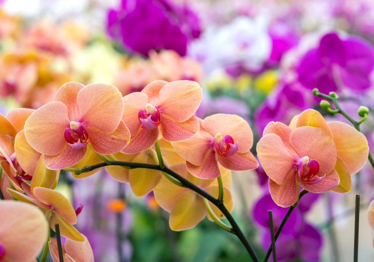 vibrant Phalaenopsis orchids