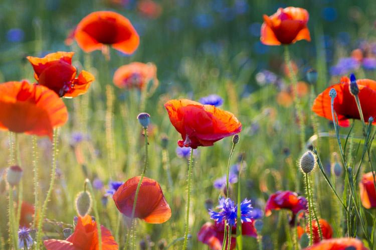 wildflowers poppies