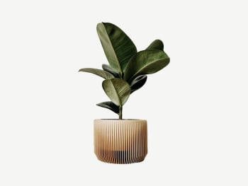 Wood planter containing a ficus plant.