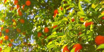 Italy Sicily Festivals Oranges