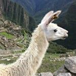Peru-Cusco-Region-Urubamba-Province-District-Machu-Picchu-Llama-animal