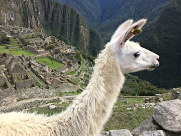 Peru-Cusco-Region-Urubamba-Province-District-Machu-Picchu-Llama-animal