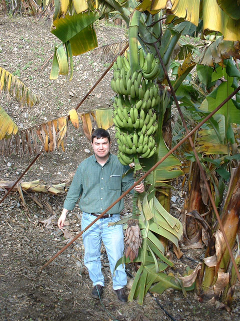 Banana plantation in Alanya, Turkey.