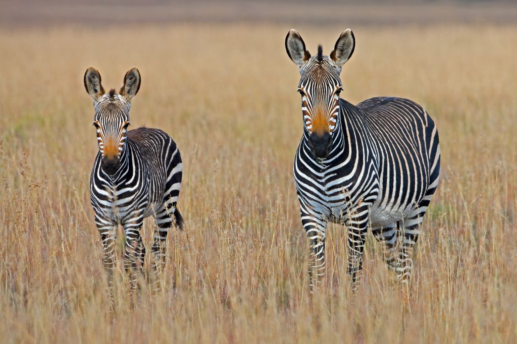 Mountain Zebra National Park, South Africa