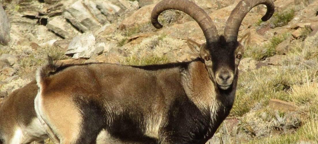 Ibex (Cabra Montes) in the Alpujarras