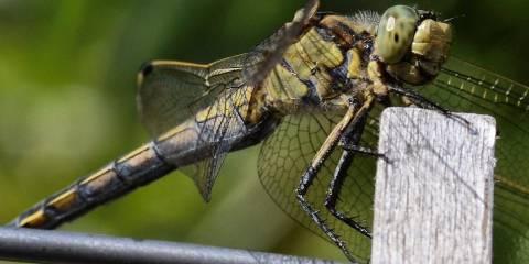 Dragonflies in Las Alpujarras