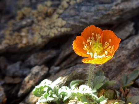 The Rare Sierra Nevada Poppy