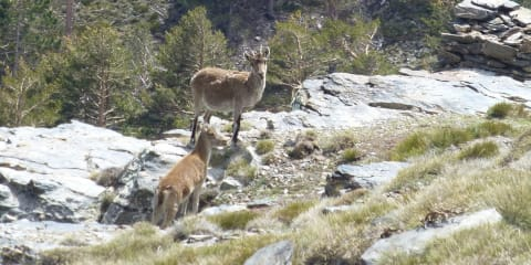 Ibex on the trails