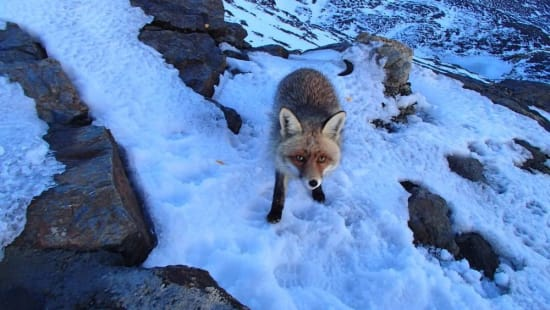 More fox related attacks on campers at Siete Lagunas