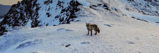 How to deal with the problem of foxes in the Sierra Nevada