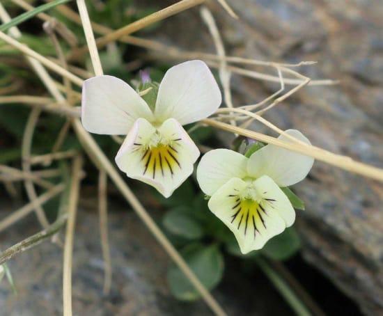 Viola crassiuscula (Sierra Nevada Violet