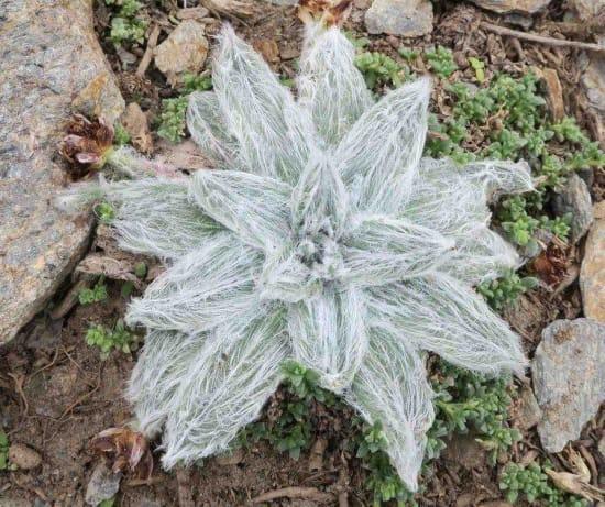 Plantago nivalis (Star of the snows)
