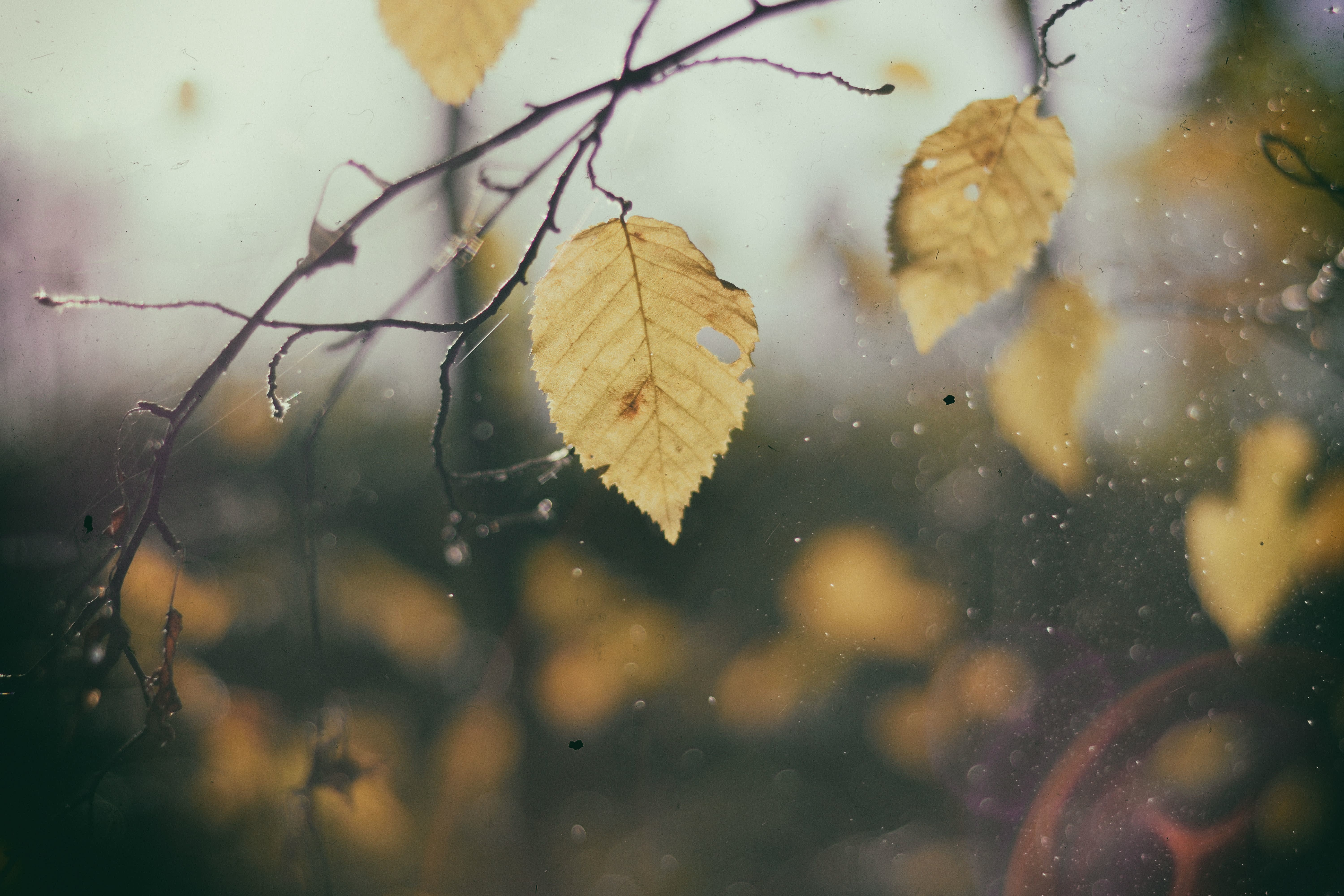 Yellow leaves in the rain.