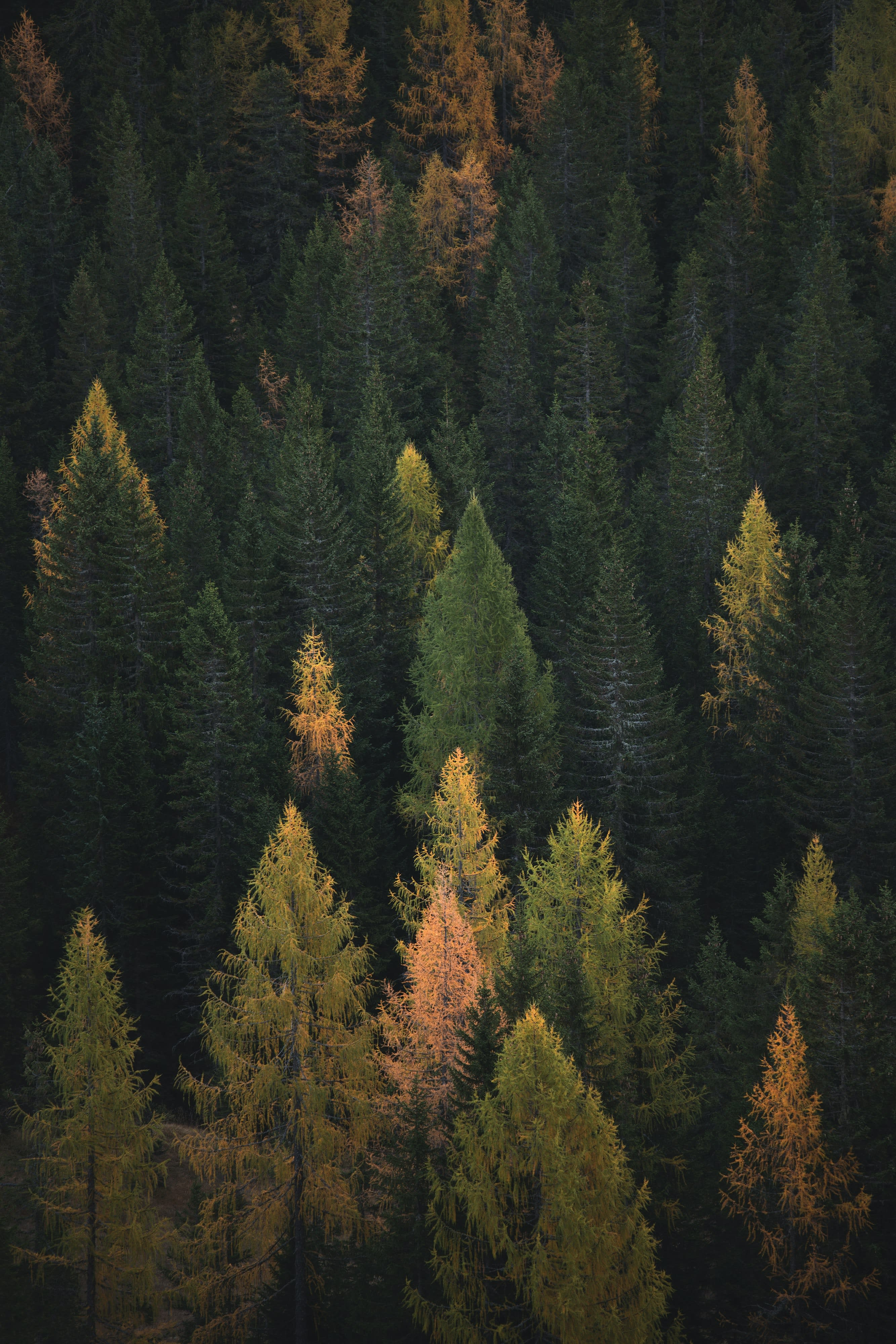 Top down view of a pine forest with a scattering of yellow trees.