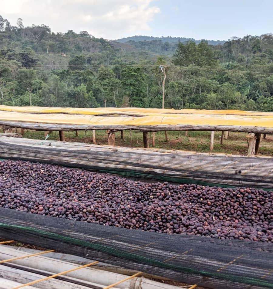 Ethiopia Yirgacheffe Micro Lot - Ultra Rare Special Honey Hybrid Process   ROOT 86 COFFEE