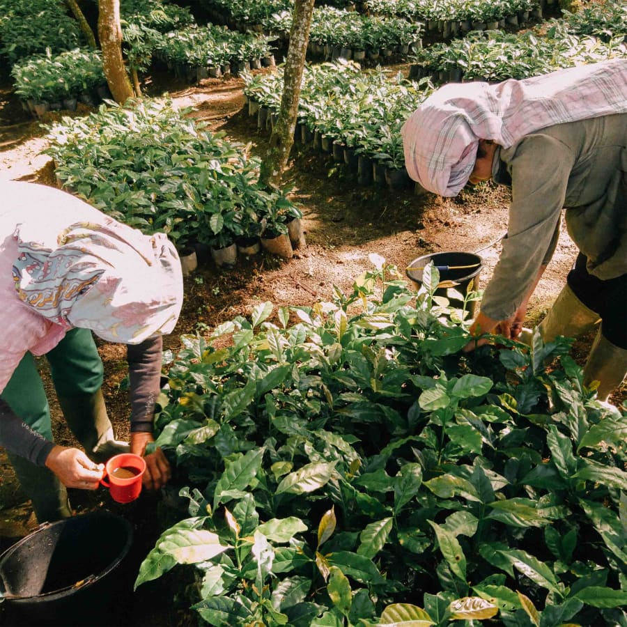 Wahana Longberry | Clifton Coffee Roasters