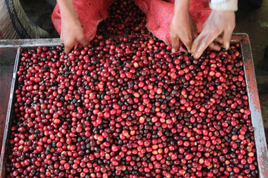 Guji Hambella | Coffee Factory
