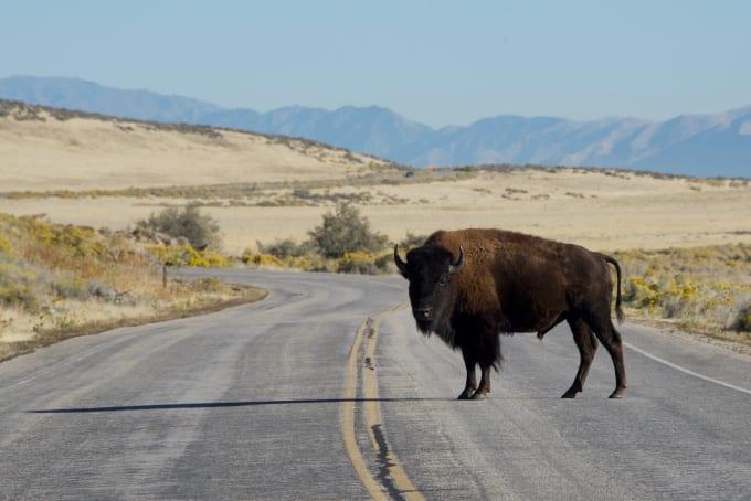 Large buffalo blocking the roadway