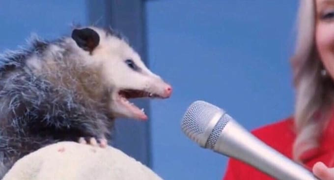 News reporter holding a microphone up to a possum with its mouth open as if speaking