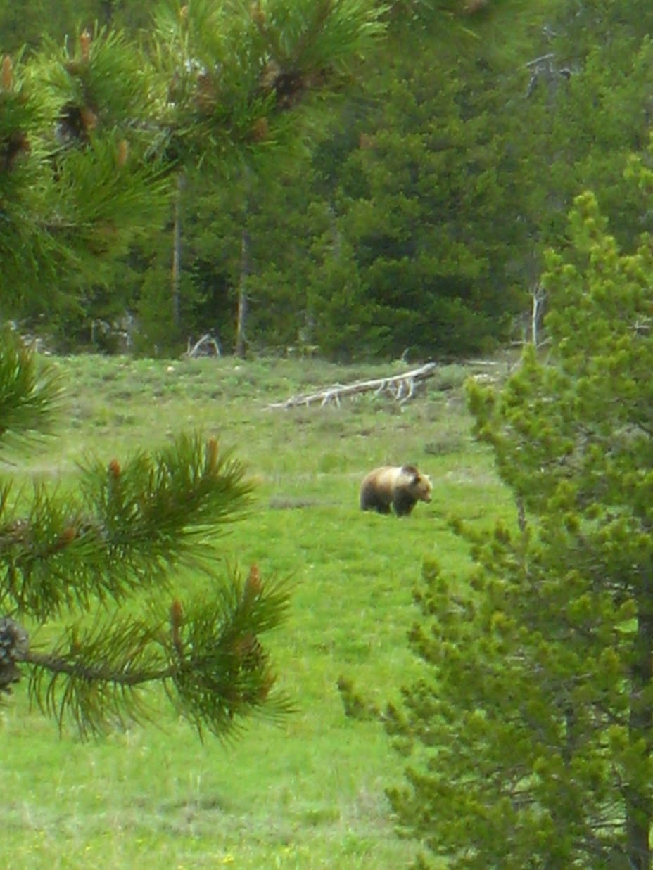 Grizzly bear in a green meadow