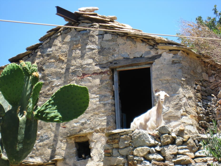 Goat peaking out of the door of an old, abandoned stone house