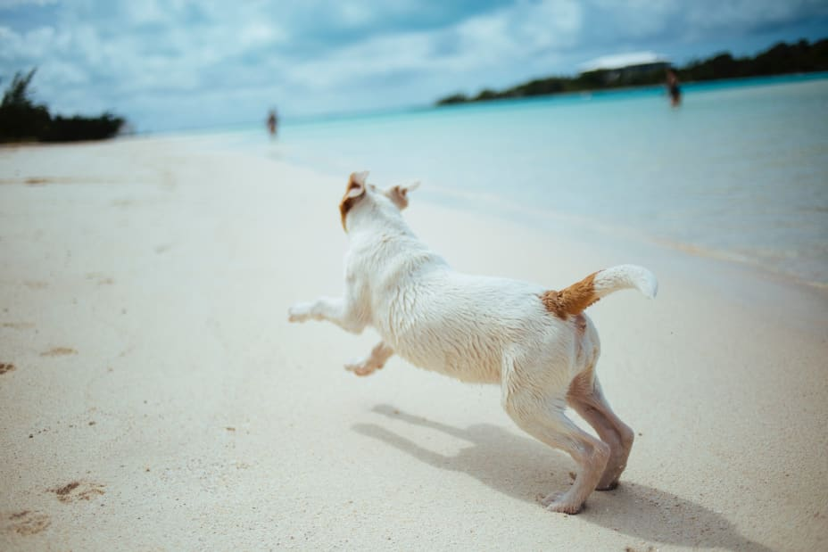 Jack Russell dog frolicking at the beach